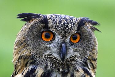 Eurasian Eagle-Owl (Bubo bubo) portrait, Netherlands  -  Steven Ruiter/ NIS