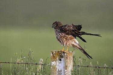 Montagu's Harrier (Circus pygargus) female on post, Caceres, Spain  -  Steven Ruiter/ NIS