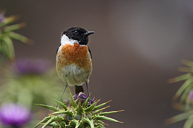 Common Stonechat (Saxicola torquata) perched on thistle, Monfrague National Park, Extremadura, Spain  -  Steven Ruiter/ NIS