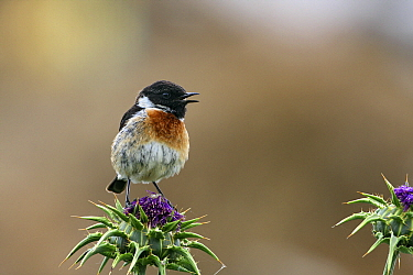 Common Stonechat (Saxicola torquata) calling from thistle, Monfrague National Park, Extremadura, Spain  -  Steven Ruiter/ NIS