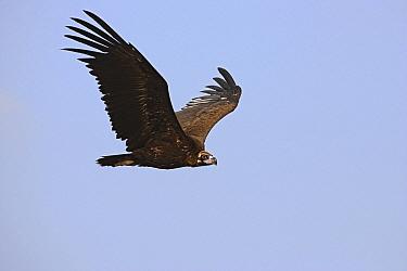 Eurasian Black Vulture (Aegypius monachus) flying, Monfrague National Park, Extremadura, Spain  -  Steven Ruiter/ NIS