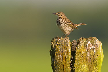 Meadow Pipit (Anthus pratensis) on post, Eernewoude, Friesland, Netherlands  -  Marcel van Kammen/ NiS