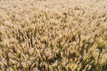 Common Wheat (Triticum aestivum) field, Normandy, France  -  Marcel van Kammen/ NiS