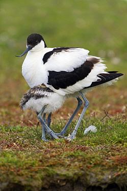 Pied Avocet (Recurvirostra avosetta) chick hiding underneath parent, Texel, Noord-Holland, Netherlands  -  Marcel van Kammen/ NiS