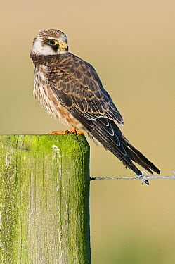 Red-footed Falcon (Falco vespertinus) juvenile on post, Lauwersmeer, Friesland, Netherlands  -  Marcel van Kammen/ NiS