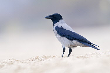 Hooded Crow (Corvus cornix) on beach, Mydzezdroje, Poland  -  Marcel van Kammen/ NiS