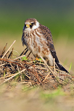 Red-footed Falcon (Falco vespertinus), Lauwersmeer, Friesland, Netherlands  -  Marcel van Kammen/ NiS