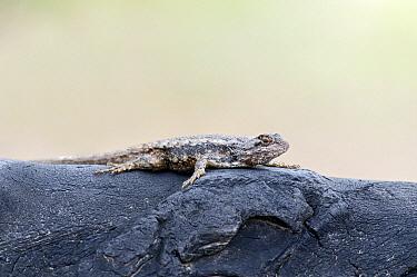 Texas Spiny Lizard (Sceloporus olivaceus) basking on old tractor tire, Texas  -  Marcel van Kammen/ NiS