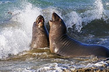 Northern Elephant Seal (Mirounga angustirostris) young bulls sparring in surf, San Simeon, California  -  Winfried Wisniewski