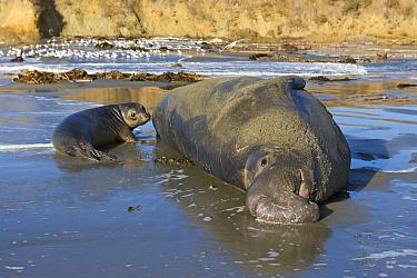Northern Elephant Seal (Mirounga angustirostris) bull and pup on beach, San Simeon, California  -  Winfried Wisniewski