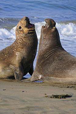 Northern Elephant Seal (Mirounga angustirostris) young bulls sparring on beach, San Simeon, California  -  Winfried Wisniewski