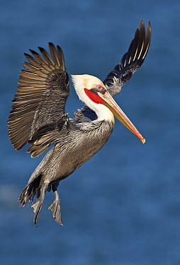 Brown Pelican (Pelecanus occidentalis) landing, San Diego, California  -  Winfried Wisniewski