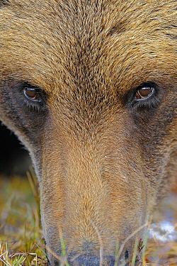 Brown Bear (Ursus arctos), Finland  -  Winfried Wisniewski