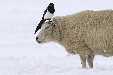Black-billed Magpie (Pica pica) on sheep in snow, Den Helder, Noord-Holland, Netherlands  -  Do van Dijk/ NiS