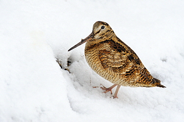 Eurasian Woodcock (Scolopax rusticola) in snow, Den Oever, Noord-Holland, Netherlands  -  Do van Dijk/ NiS