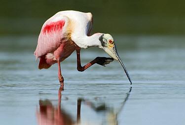 Roseate Spoonbill (Platalea ajaja) scratching, Sanibel Island, Florida  -  Marcel van Kammen/ NiS