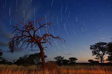 Camelthorn Acacia (Acacia erioloba) at night, Kgalagadi Transfrontier Park, Botswana  -  Vincent Grafhorst