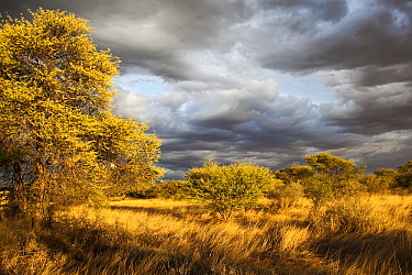 Kalahari in gold evening light, Kgalagadi Transfrontier Park, Botswana  -  Vincent Grafhorst