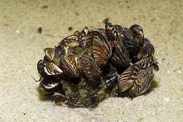 Zebra Mussel (Dreissena polymorpha) group, Vinkeveen, Netherlands  -  Hans Leijnse/ NiS