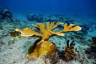 Elkhorn Coral (Acropora palmata), Bonaire Island, Netherlands Antilles, Caribbean  -  Hans Leijnse/ NiS