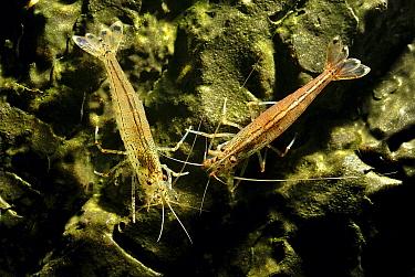 Eastern Grass Shrimp (Palaemonetes paludosus) pair  -  Hans Leijnse/ NiS