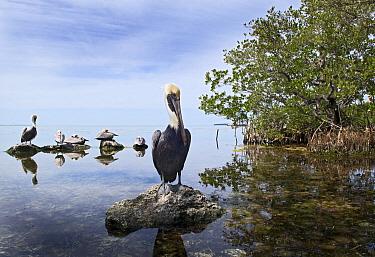 Brown Pelican (Pelecanus occidentalis) group on rocks, Florida Keys, Florida  -  Marcel van Kammen/ NiS