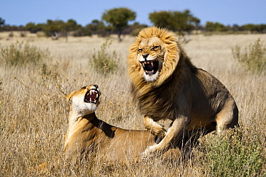 African Lion (Panthera leo) pair mating, Khutse Game Reserve, Botswana  -  Vincent Grafhorst