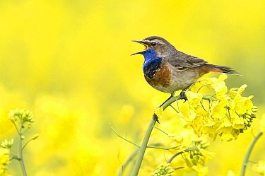 Bluethroat (Luscinia svecica) calling in Oil Seed Rape (Brassica napus) field, Groningen, Netherlands  -  Marcel van Kammen/ NiS