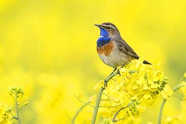 Bluethroat (Luscinia svecica) in Oil Seed Rape (Brassica napus) field, Groningen, Netherlands  -  Marcel van Kammen/ NiS