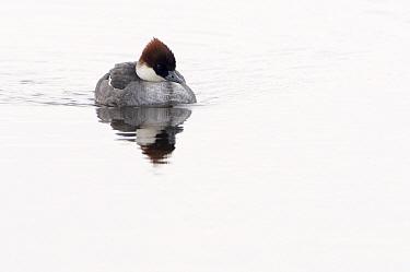 Smew (Mergellus albellus) female, Lauwersmeer, Friesland, Netherlands  -  Marcel van Kammen/ NiS