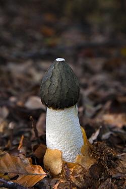 Common Stinkhorn (Phallus impudicus) mushroom, Ommen, Overijssel, Netherlands  -  Vincent Grafhorst