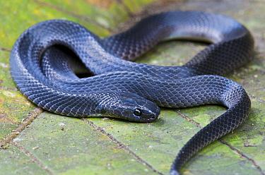 Hallowell's Coffee Snake (Ninia atrata), Mindo, Ecuador  -  James Christensen