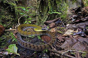 Black-naped Forest Racer (Dendrophidion nuchale), Mindo, Ecuador  -  James Christensen