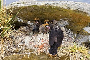 Striated Caracara (Phalcoboenus australis) on nest with chicks, Falkland Islands  -  Heike Odermatt