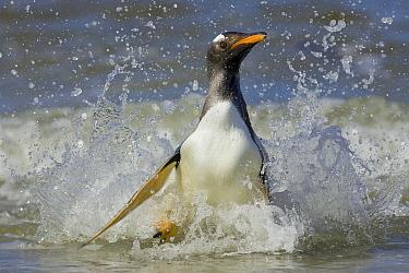 Gentoo Penguin (Pygoscelis papua) coming ashore, Falkland Islands  -  Heike Odermatt