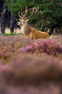 Red Deer (Cervus elaphus) stag, Hoge Veluwe National Park, Gelderland, Netherlands  -  Heike Odermatt