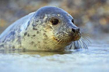 Grey Seal (Halichoerus grypus) pup in water, Helgoland, Germany  -  Heike Odermatt