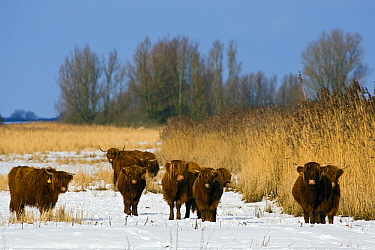 Highland Cattle (Bos taurus) group in snow, Lauwersmeer, Friesland, Netherlands  -  Heike Odermatt