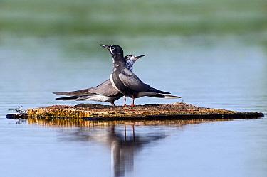 Black Tern (Chlidonias niger) pair courting on artificial nest, Utrecht, Netherlands  -  Marcel van Kammen/ NiS