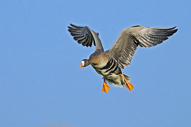 White-fronted Goose (Anser albifrons) flying, Lower Rhine, Germany  -  Winfried Wisniewski