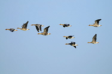 White-fronted Goose (Anser albifrons) flock flying, Lower Rhine, Germany  -  Winfried Wisniewski