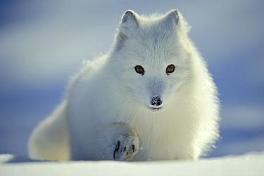 Arctic Fox (Alopex lagopus) in snow, Flatanger, Norway  -  Willi Rolfes/ NIS