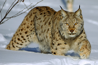 Eurasian Lynx (Lynx lynx) in snow, Flatanger, Norway  -  Willi Rolfes/ NIS