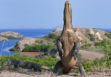 Komodo Dragon (Varanus komodoensis) standing on hind legs, Rinca Island, Komodo National Park, Indonesia  -  Stephen Belcher