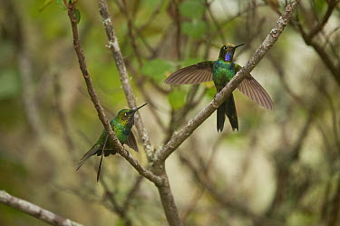 Purple-throated Sunangel (Heliangelus viola) males diplaying, southern Ecuador  -  Murray Cooper