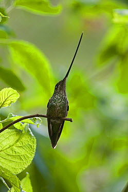 Sword-billed Hummingbird (Ensifera ensifera) female, Ecuador  -  Murray Cooper