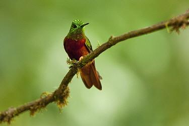Chestnut-breasted Coronet (Boissonneaua matthewsii) hummingbird, Ecuador  -  Murray Cooper