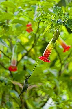 Sword-billed Hummingbird (Ensifera ensifera) female feeding on flower nectar, Ecuador  -  Murray Cooper