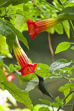 Sword-billed Hummingbird (Ensifera ensifera) male feeding on flower nectar, Ecuador  -  Murray Cooper