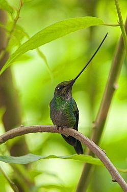 Sword-billed Hummingbird (Ensifera ensifera) male, Ecuador  -  Murray Cooper